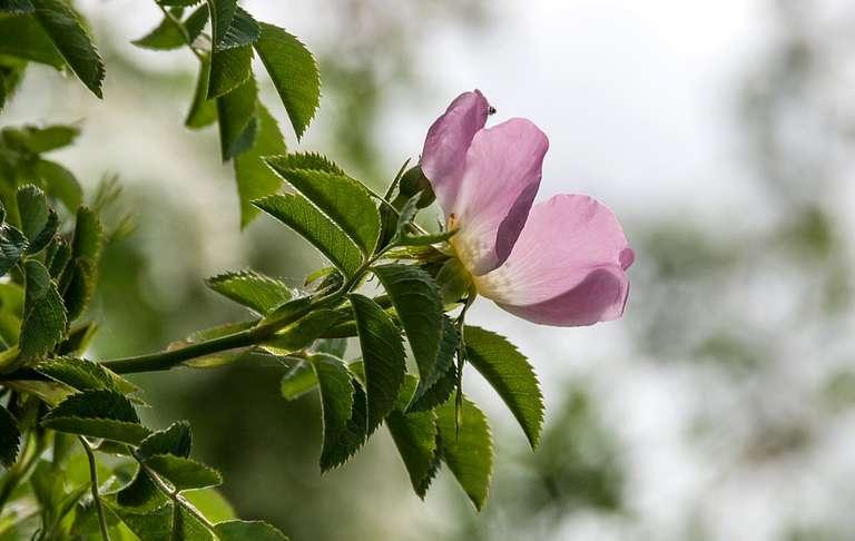 backlit rose